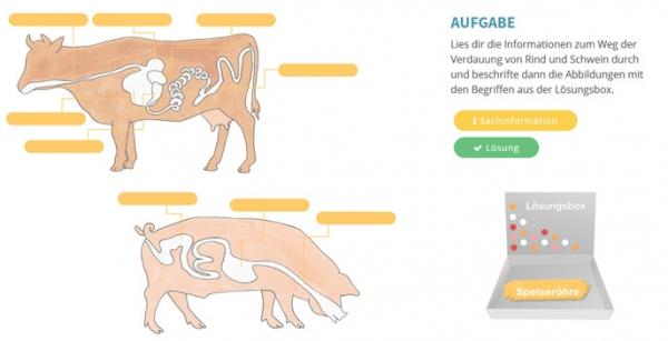 Der Weg des Futters bei Rind und Schwein