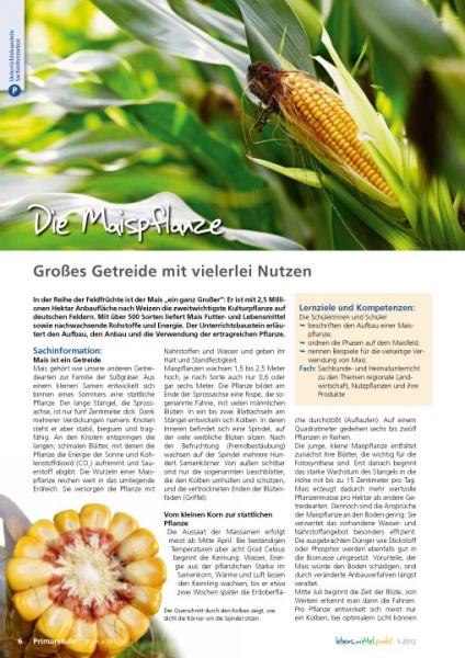 Die Maispflanze