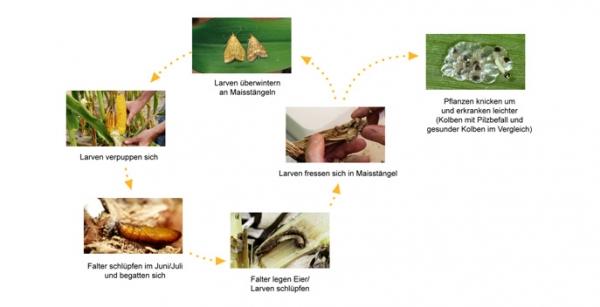 Lebenszyklus des Maiszünslers
