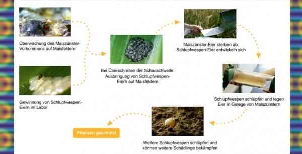Mit Technik und Biologie gegen den Maiszünsler