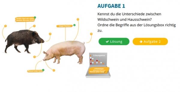 Wild- und Hausschwein im Vergleich